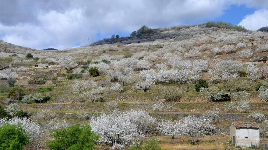 Unas 50.000 personas visitarán el Jerte para ver manto blanco de los cerezos