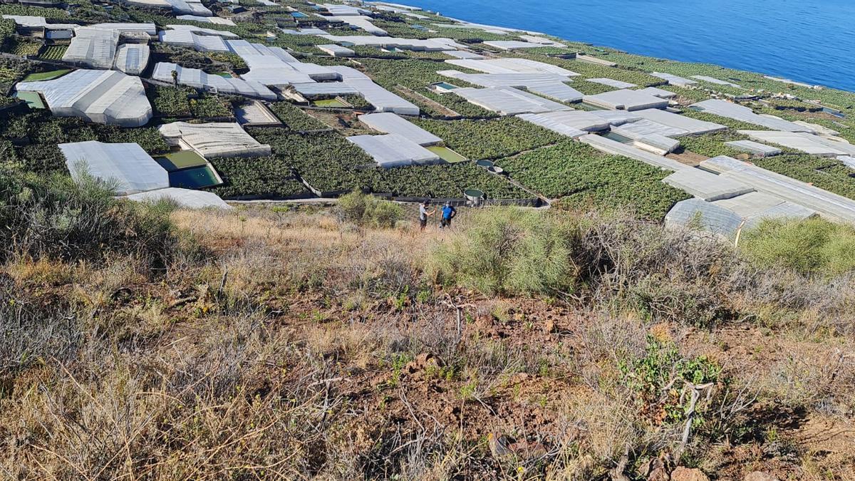 Acción de limpieza de la planta invasora 'rabo de gato' en la Montaña La Laguna, en el municipio de Tazacorte.