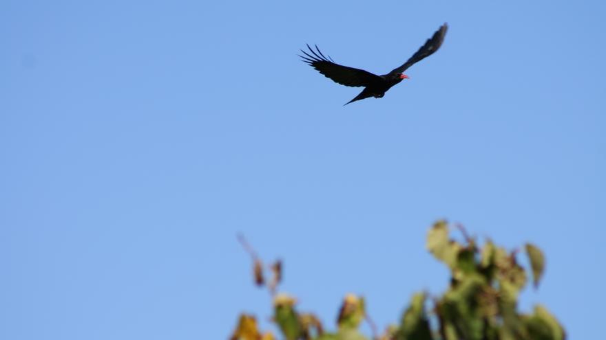 En la imagen, una graja en vuelo. Foto: FÉLIX MEDINA