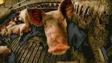 El TTIP, un peligro para los animales