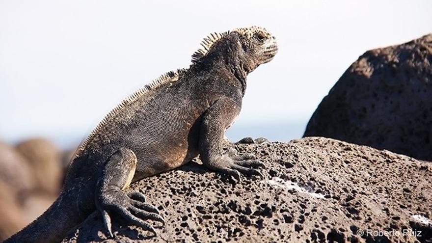 Iguana en las Islas Galápagos, Ecuador