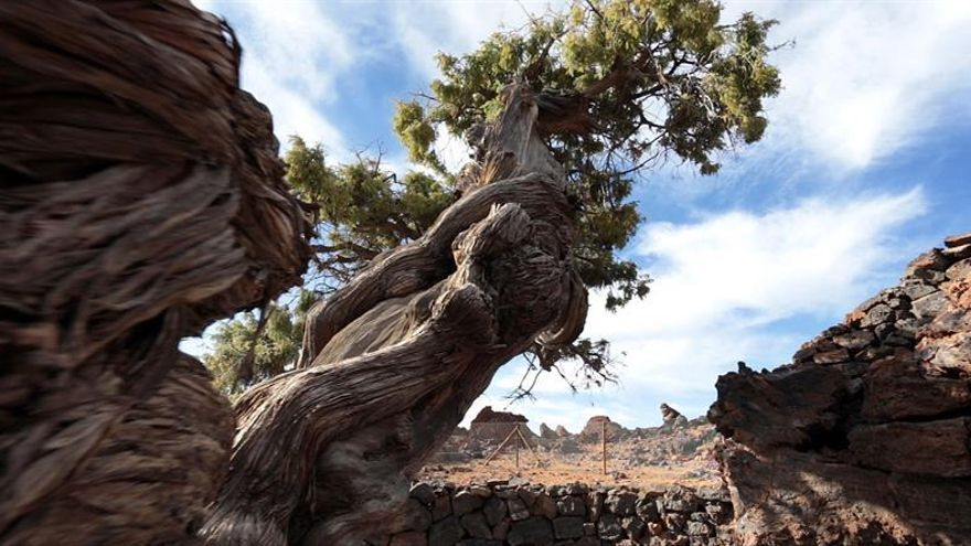 Cedro canario de 1.100 años en el Parque Nacional del Teide.