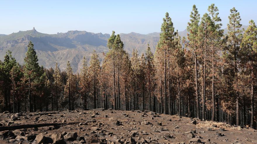 Efectos del incendio en la cumbre de Gran Canaria.