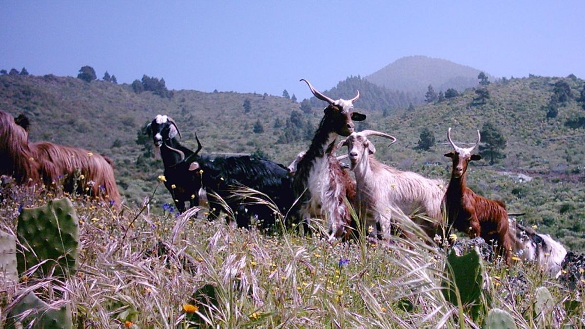 Cabras en pastoreo en La Palma.