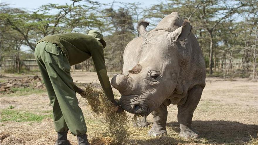 """Fecundación """"in vitro"""" para salvar al rinoceronte blanco"""