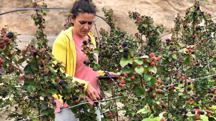 Lidia Domínguez Tejera, en su finca Aires del Apartadero (municipio de Fasnia) con el cultivo ecológico de moras y frambuesas