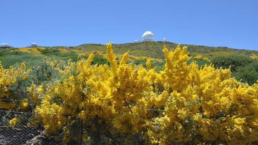 En la imagen, un retamón en flor con el Telescopio William Herschel al fondo. Foto: ÁNGEL PALOMARES.