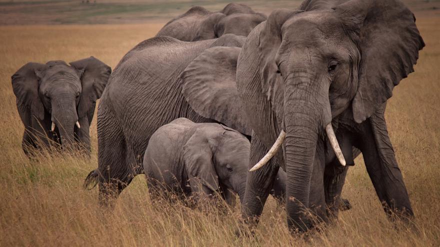 Elefante africano de sabana (Loxodonta africana).
