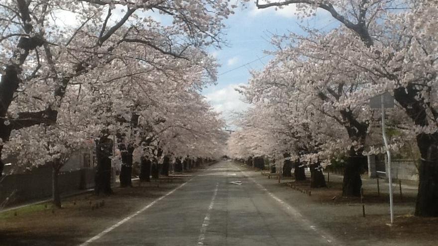 Cerezos en flor en la ciudad fantasma de Tomioka tras el accidente nuclear en Fukushima. Foto: Página de apoyo a Naoto Matsumura en Facebook