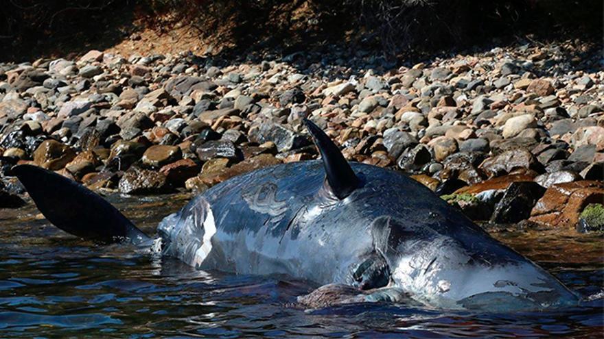 Ballena muerta por la ingesta de plásticos.