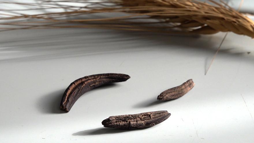 El hongo Claviceps Purpúrea crece en un gran número de gramíneas, como el centeno