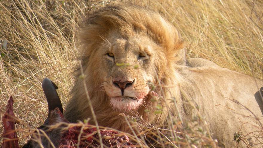Tanzania, el reino del león.