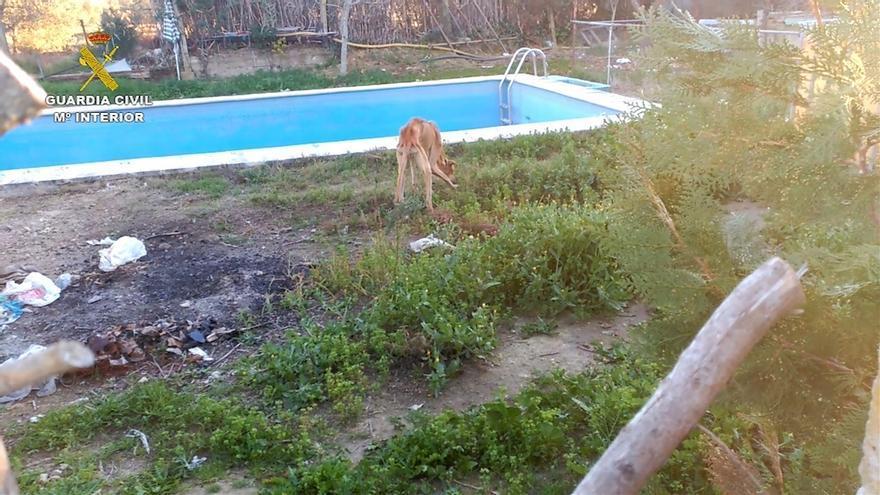 La Guardia Civil recupera 5 galgos en estado crítico de desnutrición y abandono en una finca de Morón
