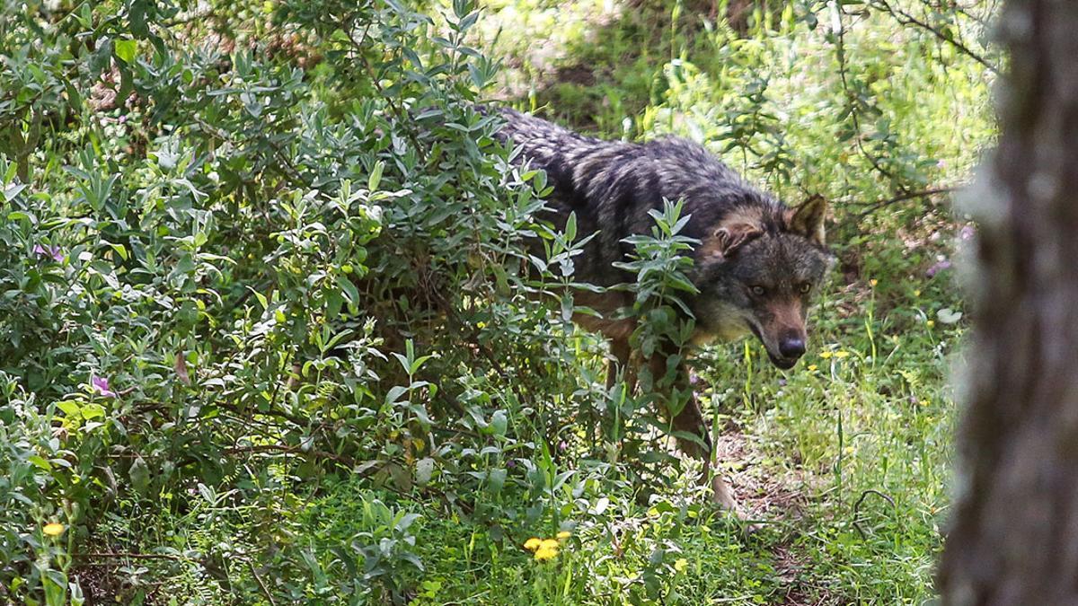 Un lobo en el CREA de Los Villares