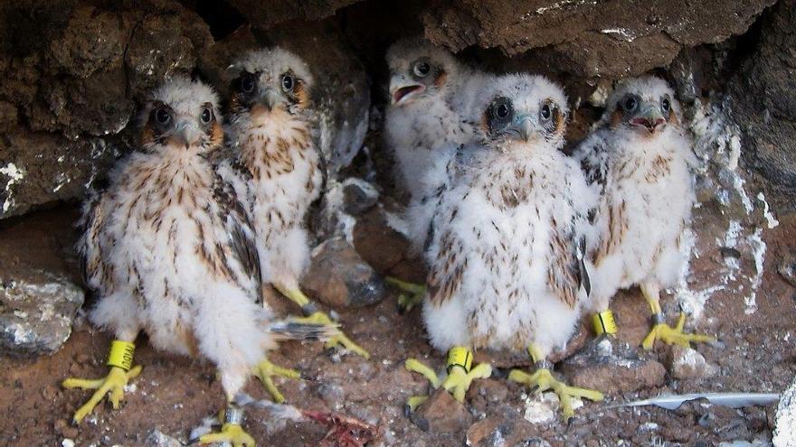 Pichones marcados de halcón tagarote, en un nido localizado en el sur de Tenerife