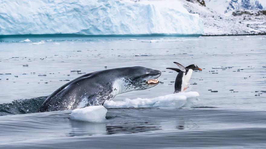 'Si los pingüinos volaran'. Finalista de la categoría Comportamiento: Mamíferos