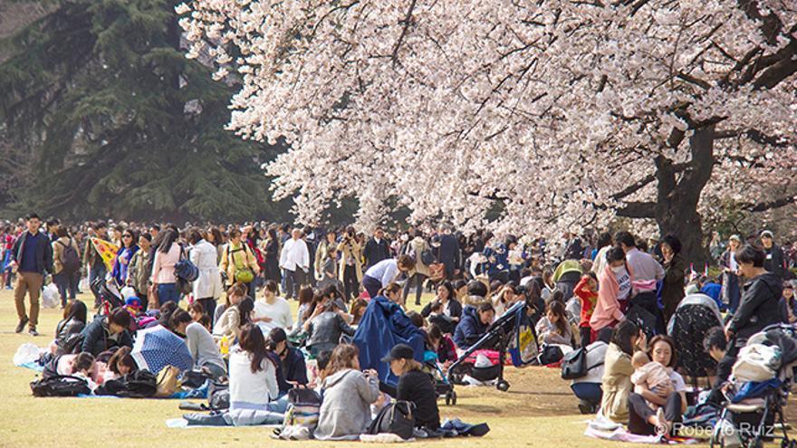 38072d504 Sakura y hanami: dónde y cuándo disfrutar de los cerezos japoneses