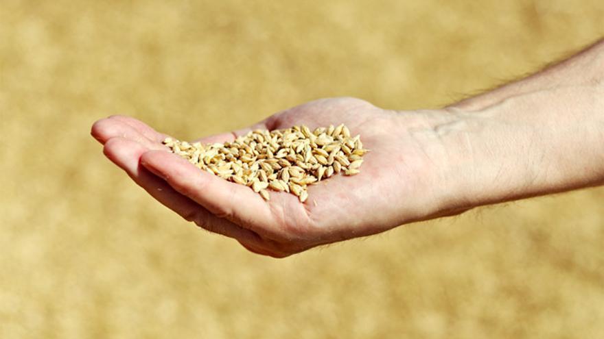 Cada año Damm destina 190.000 toneladas de bagazo a la alimentación de vacas de numerosas de granjas.