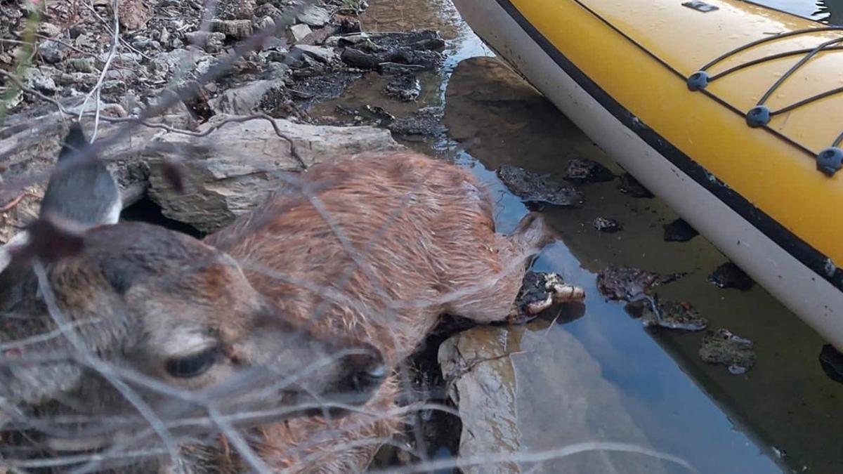 El cervatillo, tras ser rescatado