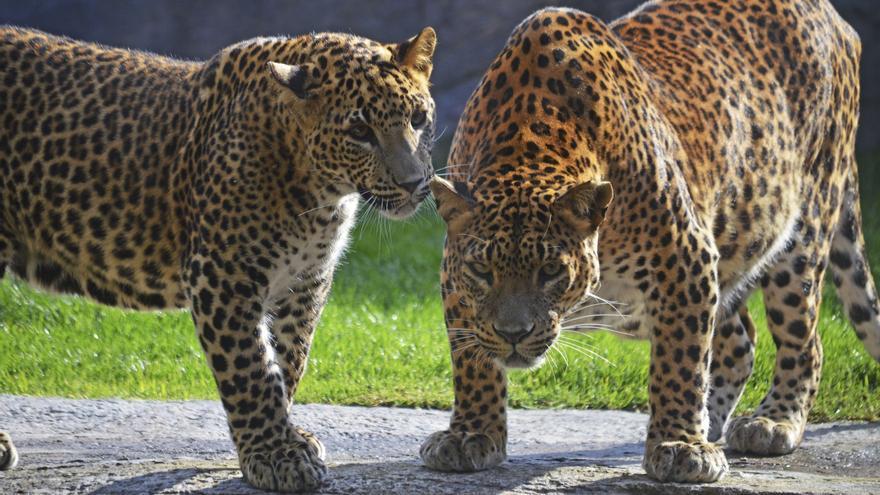 Una pareja de leopardos en el bosque ecuatorial de Bioparc
