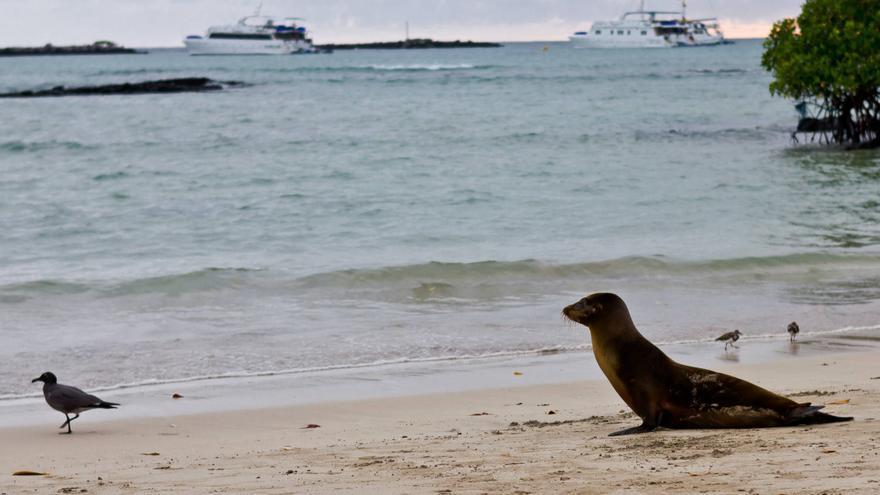 Una cría de lobo marino a punto de entrar en el agua en Puerto Villamil. VA