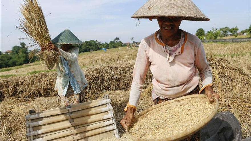 Varios agricultores balineses limpian los granos de arroz durante la recolecta en Denpasar, Bali (Indonesia).