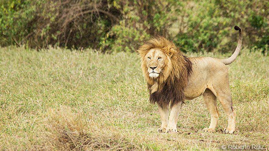 Ngorongoro, Tanzania, león