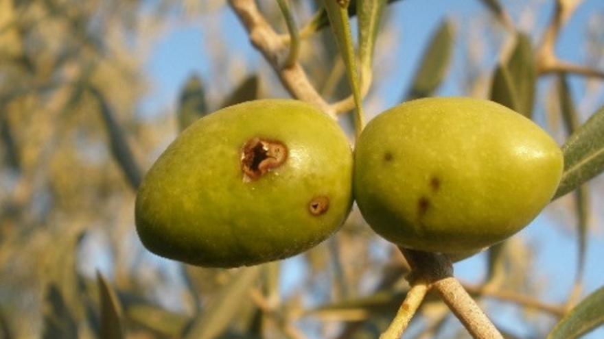 Aceituna con orificio tras una picada de la mosca del olivo