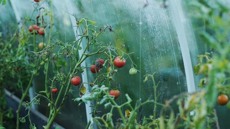 Tomates de invernadero