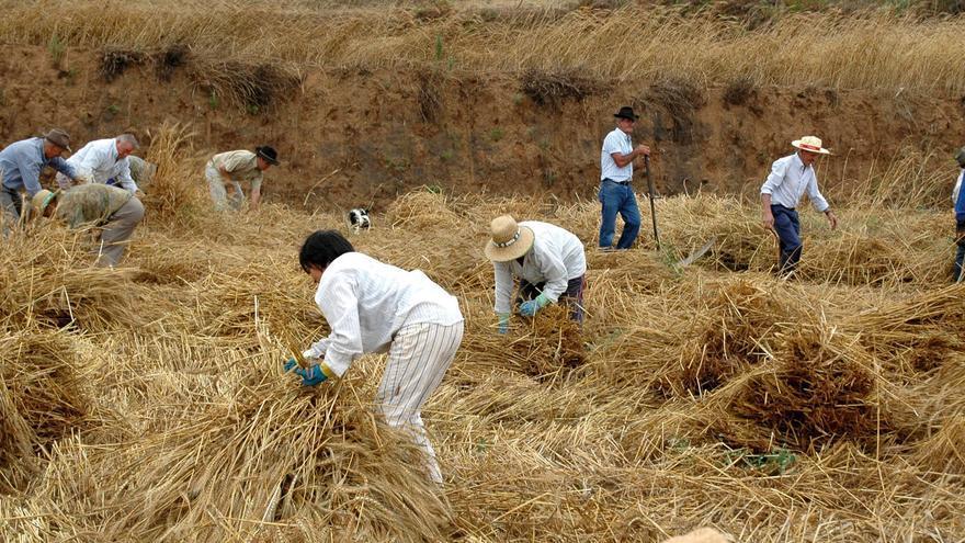 Siega de trigo en la parte alta de Los Realejos, en Icod el Alto (Tenerife)
