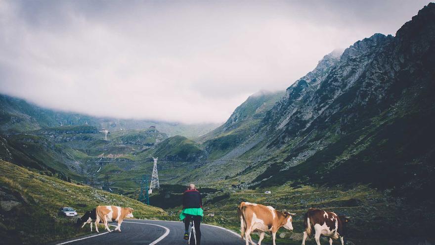 Bicicletas, coches y vacas comparten la carretera.