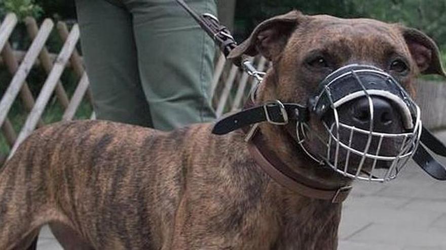 Ejemplar de una raza de perro considerado como potencialmente peligrosa (PPP)