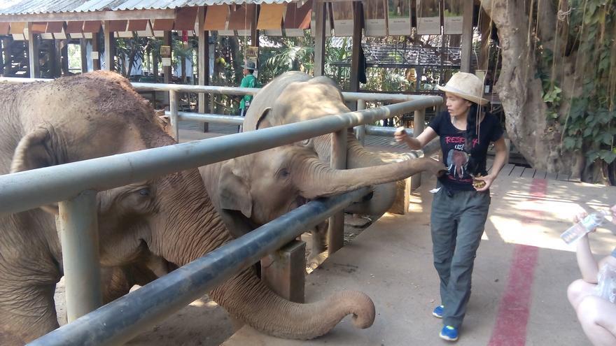 Dok Mai, elefantita feliz que no ha pasado por el 'phajaan', le pide comida a Lek. Foto: Sara Hernández Cofiño.