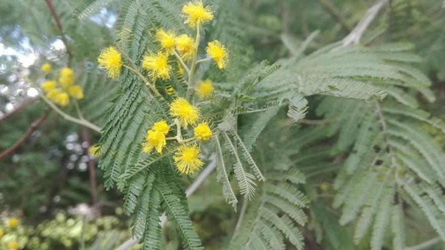 Mimosa / CICYTEX