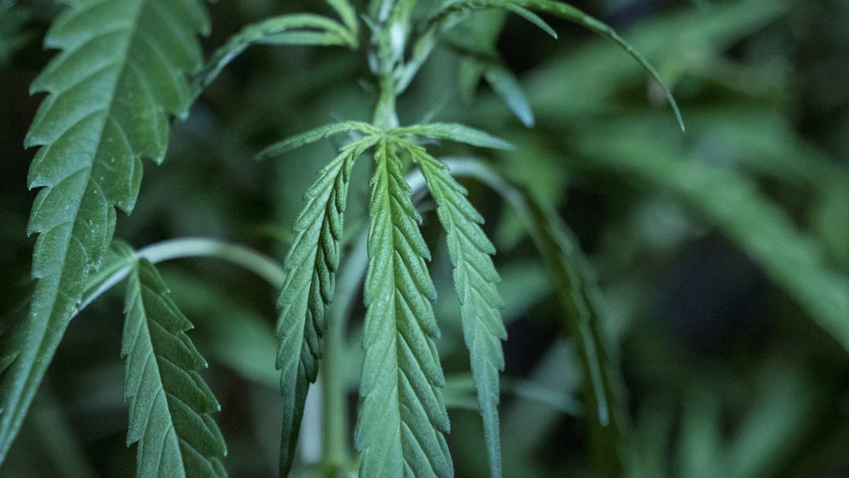 Vista de una planta de cannabis. EFE/Martín Crespo/Archivo