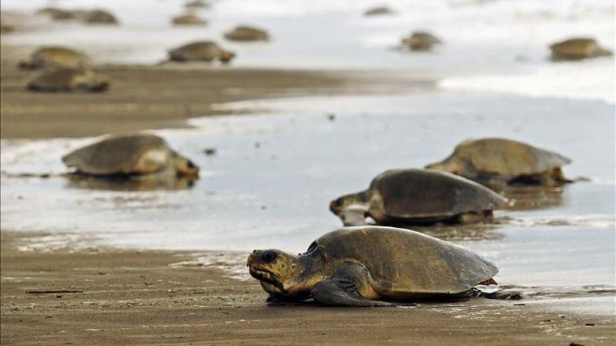 Nicaragua espera que 250.000 tortugas aniden en sus costas del Pacífico