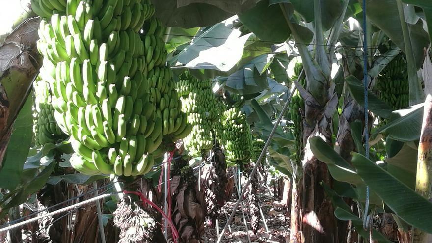 Finca de plátano con la fruta en la piña