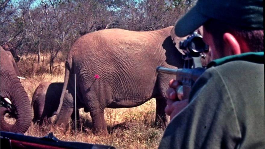 Un hombre dispara una vacuna anticonceptiva a un elefante en Sudáfrica.