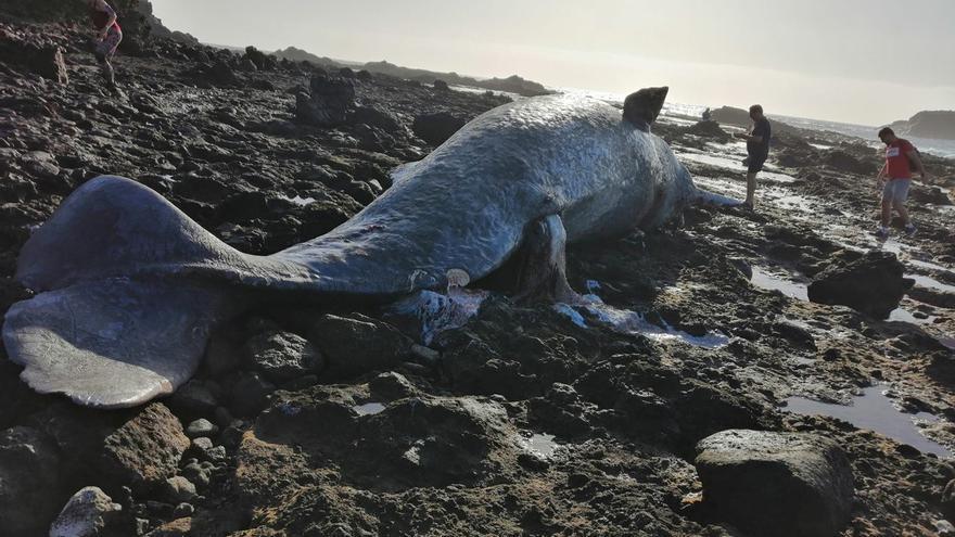 Ejemplar de cachalote aparecido muerto en Arinaga