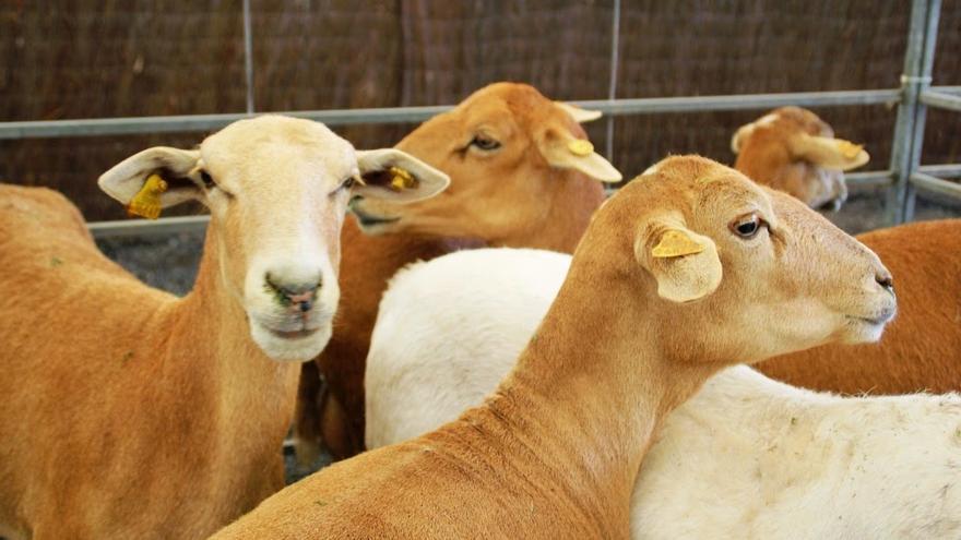 Ovejas de carne de la raza pelibuey, en una imagen de archivo