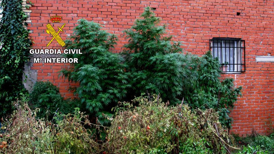 Planta de marihuana incautada por la Guardia Civil en Extremadura