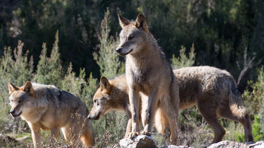 Los ganaderos de la Sierra Norte de Guadalajara se muestran indignados porque el lobo ganará territorio