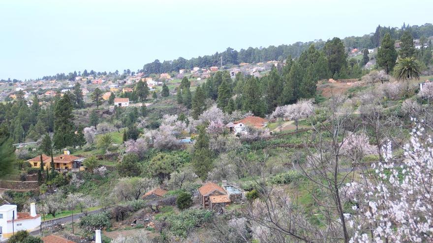 En la imagen, panorámica de almendros en flor en el municipio de Puntagorda.