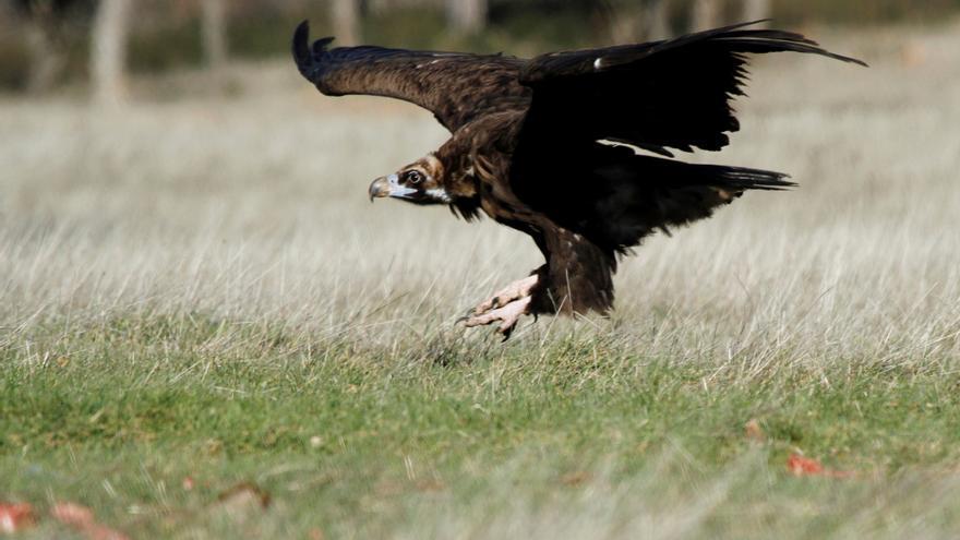 """WWF crea un grupo de aves """"centinelas"""" contra el envenenamiento de animales"""