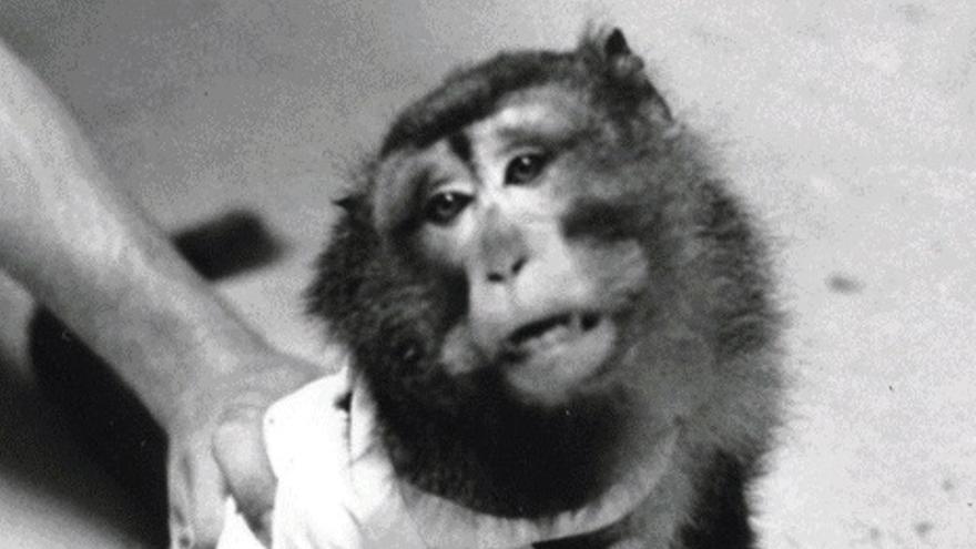 Uno de los macacos conocidos como los 'Silver Spring Monkeys', cuyo rescate convirtió a PETA en la ONG más controvertida de Estados Unidos.