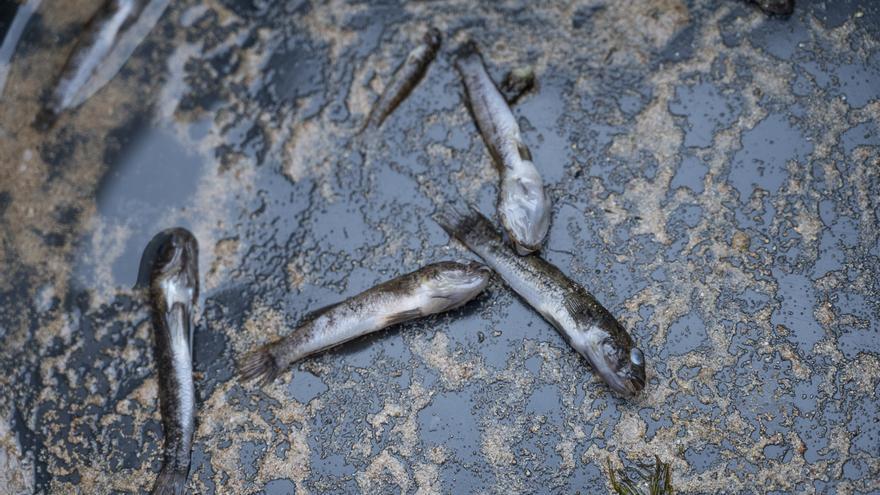 Peces muertos en la orilla del Mar Menor