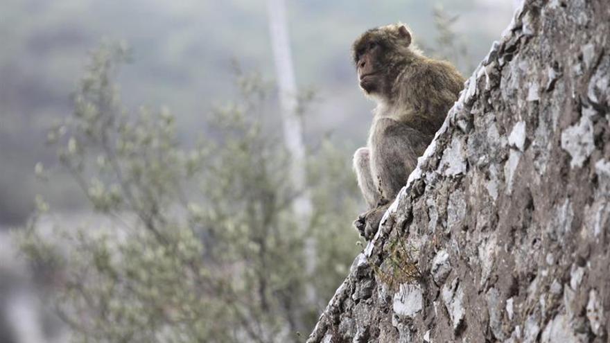 La CITES prohíbe el comercio internacional del pangolín y del mono de Gibraltar