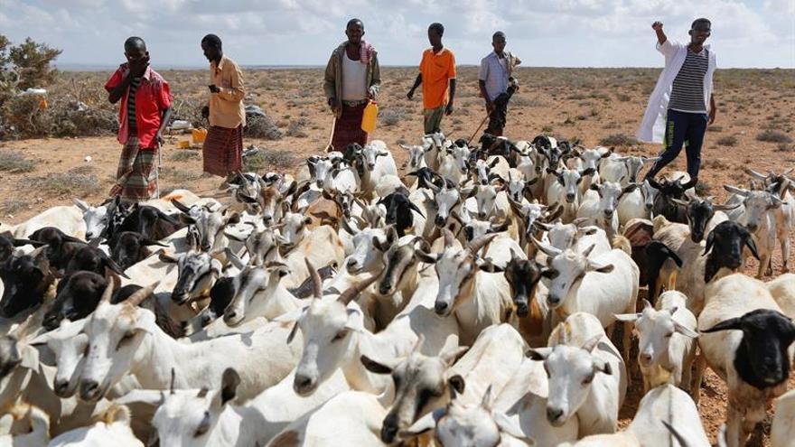 Somalia tiene en la ganadería su principal activo económico ante la crisis