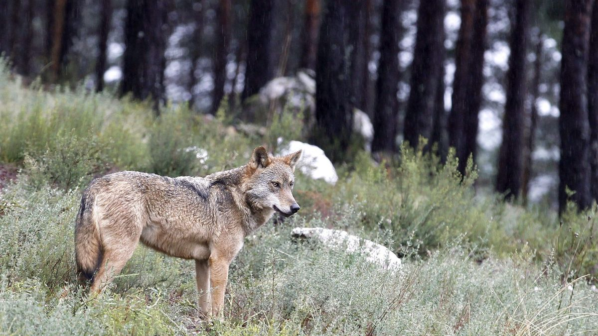 Un lobo del Centro Temático del Lobo Ibérico, en Robledo. EFE/Mariam A. Montesinos/ Archivo