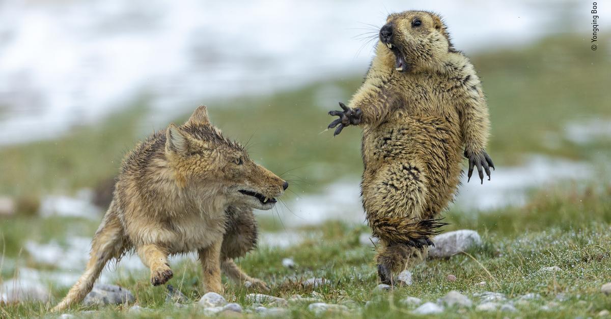 La marmota que nunca debió salir de su madriguera, elegida mejor foto de naturaleza del año